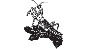 Praying Mantis decal